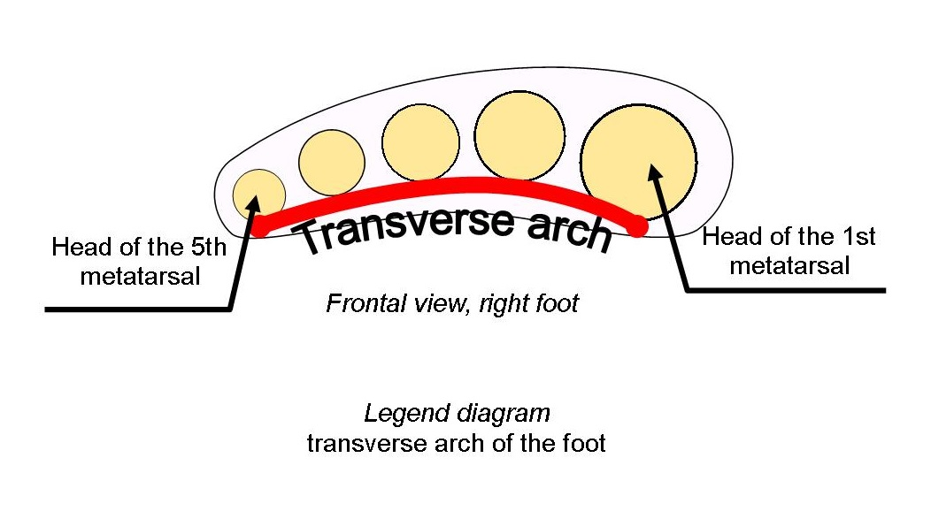 diagram transverse arch of the foot