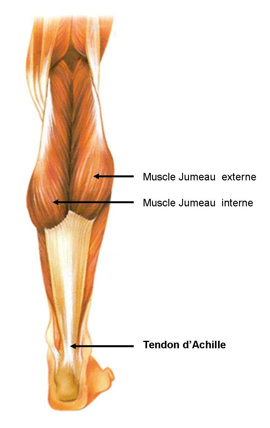 Tendon Achille