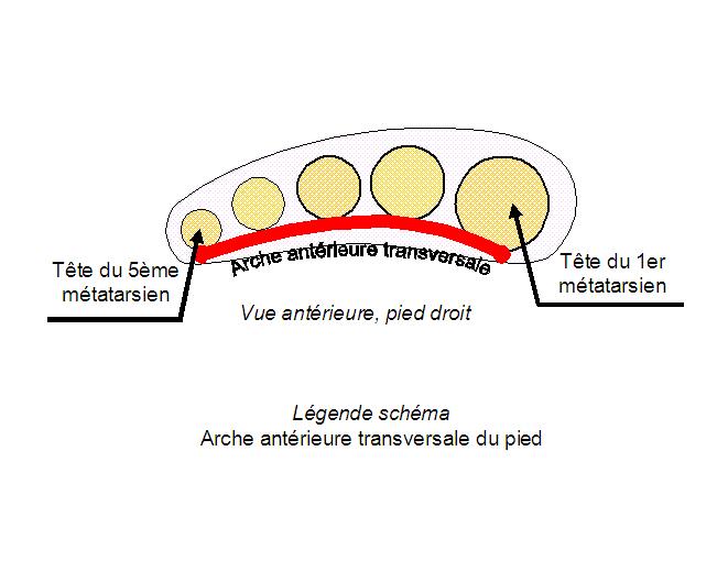 Schéma Arche antérieure transversale